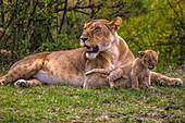 Lion cub sits comfortably on mother's front leg.
