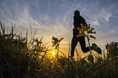 Man running through Wildflower meadow at sunrise in Cowpen Bewley Woodland Park, Billingham, England, United Kingdom.
