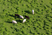 aerial, rural landscape, countryside, farming, agriculture, animals, cows from above grazing on a lush green field Bavaria, Germany