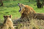 Lion yawning, lioness out of focus, Natal Lion Park, Pietermaritzburg, KwaZulu-Natal, South Africa