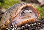 Loggerhead musk turtle, Sternotherus minor, native to southeastern United States.