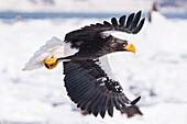 Steller´s Sea Eagle, Haliaeetus pelagicus, in flight, Rausu, offshore Hokkaido, Sea of Okhotsk, Japan.