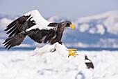 Steller´s Sea Eagle, Haliaeetus pelagicus, landing, Rausu, offshore Hokkaido, Sea of Okhotsk, Japan.