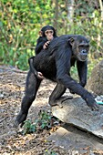 Chimpanzee (Pan troglodytes) mother with baby on her back.