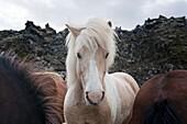 Icelandic Horse (Equus caballus) portrait between two other horses, Iceland.