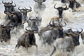 Herd of Blue Wildebeest (Connochaetes taurinus) crossing the Mara River with motion blur, Serengeti national park, Tanzania.