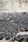 Herd of Blue Wildebeest (Connochaetes taurinus) crossing the Mara River, Serengeti national park, Tanzania.