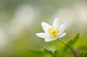 Wood Anemone (Anemone nemorosa), close-up with shallow depth of field, Netherlands.