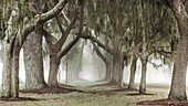 A de-saturated double row of Oak trees in the mist form a magical lane that disappears into the distance. St. Simons Island, Georgia, USA