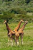 Rothschild´s giraffe or Baringo giraffe or Ugandan giraffe (Giraffa camelopardalis rothschildi). One of the most endangered giraffe subspecies, with only a few hundred individuals in the wild. Interestingly, they have 3 horns. Lake Nakuru. Nakuru. Great R