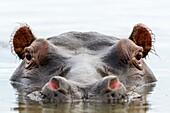 Common hippopotamus or hippo (Hippopotamus amphibius). Eastern Shores. iSimangaliso Wetland Park. KwaZulu Natal. South Africa.