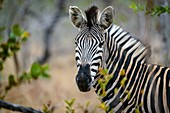 Burchell´s zebra (Equus quagga burchellii). Also know as bontequagga, Burchell´s zebra, Damara zebra, and Zululand zebra. Kruger National Park. Mpumalanga. South Africa.