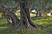 Aged olive grove
