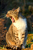 Portrait of a yawning cat.