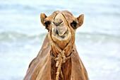 Funny camel, Camelus dromedarius, gritting its teeth, Mombasa, Kenya.