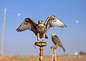 Falconry is known in Arabia for thousands of years. One species (shaheen) of falcons is on display together with the bustard, the most wanted quarry. Natural hunting is represented by, an eagle capturing a rabbit. Different species of falcons with differe