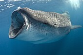whale shark, rhincodon typus, wide open mouth while feeding on plancton near surface at Isla Mujeres Mexico.