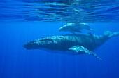 Humpback whale: mother and calf.Megaptera novaeangliae.Vava´u, Tonga, South Pacific.
