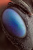 'A magnified view of its beautiful eye; a special technique was used to remove the ommatidum reflections, leaving an image with SEM like surface detail.'
