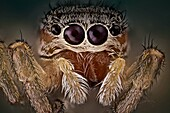 'A beautiful and yet small jumping spider; They have good vision and use it for hunting and navigating. They are capable of jumping from place to place, secured by a silk tether.'