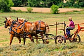 Young Amish boy operating a horse-drawn farming machine in the fields of Wisconsin.