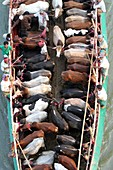 BANGLADESH, Dhaka: Bangladeshi cattle dealers transport cows in readiness for slaughter along a river in Dhaka, October 11, 2013, ahead of the Eid al-Adha Festival. Eid al-Adha, the biggest festive Muslim event, marks the end of the holy fasting month of