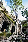 Giant tree roots (Tetrameles nudiflora) growing over a building at Ta Prohm temple, built in the Bayon style largely in the late 12th and early 13th centuries and originally called Rajavihara. Angkor Archaeological Park, Siem Reap Province, Cambodia, Sout