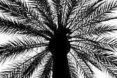 Silhouette of a palm tree, Cordoba, Andalusia, Spain