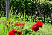 Viniculture near Mor over Rovereto, Trentino, Italy
