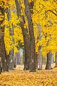 Yellow coloured maples (Acer sp.). Uña, Parque Natural de la Serranía de Cuenca, Cuenca province, Spain.