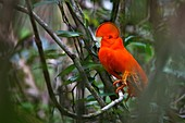 Rupicola rupicola. Male cock of the rock. Kaw mountain. French Guiana.