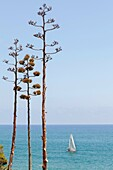 Sailboat and agaves Agave american on the coast, Oropesa, Castellon, Spain.