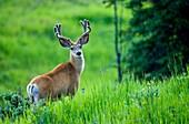 A mule deer buck ´Odocoileus hemionus´, looks up from his feeding on the tall green grass in rural Alberta Canada.