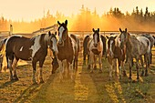 A herd of domestic horses standing backlit by the setting sun in rural Alberta. Canada.