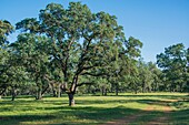 Majestic oaks highlight a California landscape.