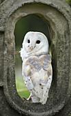 Barn owl (tyto alba), United Kingdom.