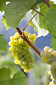 Riesling Wine grape.