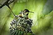 Roofus humming bird sitting on her nest with two babies below her. You can see one small beek sticking up on the left.