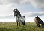 Icelandic horses grazing with expansive sky in background Iceland shot from low angle
