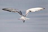 Gulls or seagulls are seabirds of the family Laridae in the sub-order Lari, India.
