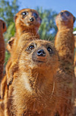 'A curious but cautious meerkat comes closer than its friends; captive, Florida, USA.'