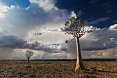 Landscape photo of quiver trees in sunlight below a dramtic afternoon thunderstorm. Fish River Canyon, Namibia.