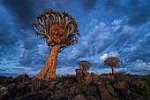 Landscape photo of quiver trees against a deep blue twilight sky. Quiver Tree Forest, Keetmanshoop, Namibia.