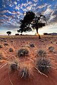 Low angle view of grass knolls below a stunted acacia tree. Namib Rand, Namibia.