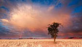 Wide angle view of a camelthorn tree against an amazing sunrise sky. Namib Rand, Namibia.
