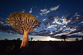 Landscape photo of a Quiver Tree against a full moon night sky. Quiver Tree Forest, Keetmanshoop, Namibia.