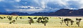 Panoramic landscape photo of camelthorn trees in a green desert valley after plentiful rains. Namib Rand, Namibia.