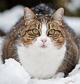 Mackerel Tabby Domestic Cat- Felis catus in snow. Winter, Uk.