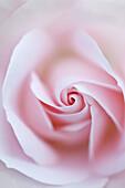 Rosa, rose type floribunda, variety Special Child (Taniripsa).