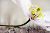 Detached Clematis flower lying on weathered wooden table.